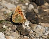 Grote parelmoervlinder op mest