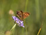 Paarse parelmoervlinder