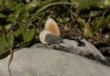 Alpen hooibeestje