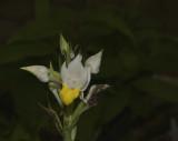 Pecteilis hawkesiana