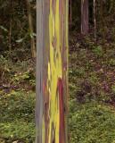Regenboog Eucalyptus, E.deglupta