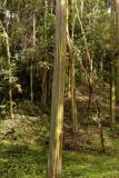 Regenboog Eucalyptus, E. deglupta
