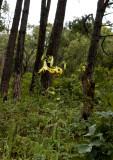 Lilium primulinum var. burmanicum, habitat 1400 mtr.