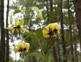 Lilium primulinum var.burmanicum, height more than 2 mtr.
