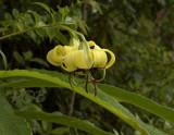 Lilium primulinum var. burmanicum