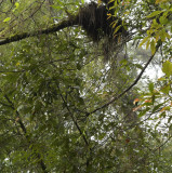 Dendrobium falconeri, plant 3 mtr, cool cloud forest at 1800 mtr.
