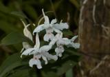 Dendrobium virgineum