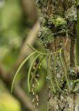 Cleisostoma fuerstenbergianum, habitat