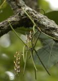 Cleisostoma fuerstenbergianum in habitat