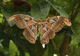 Atlas mot, 27 cm wingspan.