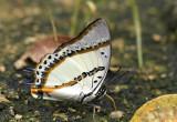 Polyura nepenthes