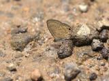 Prosotos gracilis
