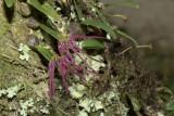 Bulbophyllum nippondii