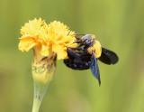 Bee, 5cm wingspan