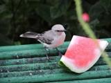 DSCN3526¸Barrett_20170302_037_Tropical Mockingbird.JPG