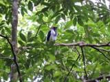 DSCN3673¸Barrett_20170302_151_Bearded Bellbird_male.JPG
