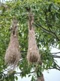 DSCN3812¸Barrett_20170303_267_Crested Oropendola_nests.JPG