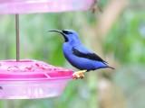 DSCN3963¸Barrett_20170303_387_Purple Honeycreeper.JPG