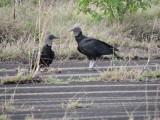 DSCN3999¸Barrett_20170304_414_Black Vulture.JPG