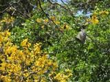 DSCN4009¸Barrett_20170304_422_Yellow Poui tree and bee nest.JPG