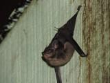 DSCN4205¸Barrett_20170305_553_Bull-nosed Bat.JPG