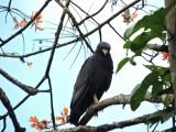 DSCN4301¸Barrett_20170306_618_Common Black Hawk.JPG
