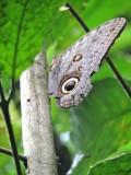 DSCN4405¸Barrett_20170307_678_Giant Owl Eye Butterfly.JPG