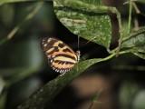 DSCN4536¸Barrett_20170307_778_Harmonia Tiger Butterfly.JPG