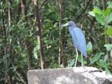 DSCN4675¸Barrett_20170308_889_Little Blue Heron.JPG