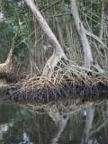 DSCN4700¸Barrett_20170308_902_mangroves.JPG