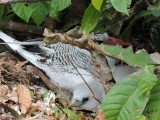 DSCN4904¸Barrett_20170310_1071_Red-billed Tropicbird_adult and chick.JPG