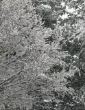 A Late Spring Snow Storm-Blacksburg, Virginia