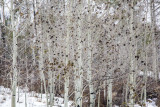 La Sal Mountains Aspens With Falling Snow, Utah