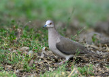 Whit Tipped Dove