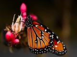 Queen butterfly on red yucca