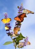 Lot of butterflies for one flower stalk.