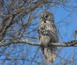 Chouette lapone (Great grey owl)