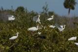 Ibis blanc (American white ibis)