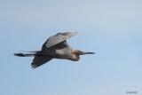 Aigrette roussâtre (Reddish Egret)