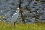 Héron garde-bœuf (Cattle egret)