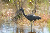 Ibis falcinelle (Glossy ibis)