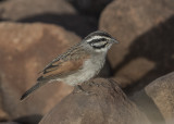 Cape Bunting