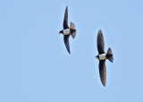 Alpine Swift     Spain