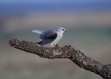 Black-winged Kite   Spain