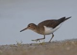Common Sandpiper   Spain