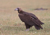 Cinereous (Black) Vulture