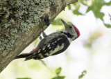 Middle Spotted Woodpecker   Bulgaria