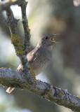 Thrush Nightingale    Estonia