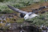 Northern Fulmar    Scotland