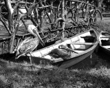 1899 - Pelicans